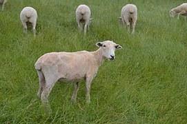 BlaschkePR-Reisetipp Neuseeland-sheep